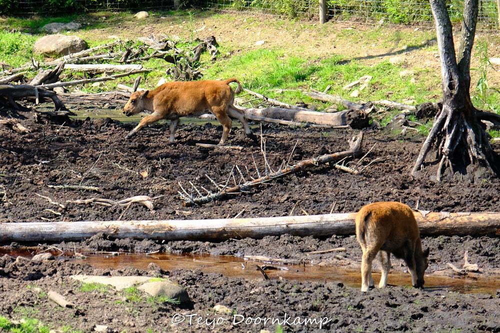 jonge bisons